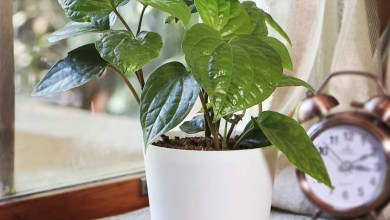 Photo of Feel Healthy In Your House With Betel Leaf Plant