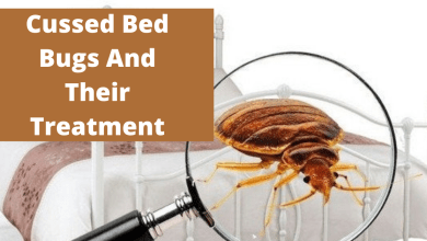Photo of Cussed Bed Bugs And Their Treatment
