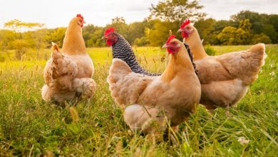 Photo of 9 Must Know Tips to Raise Chickens