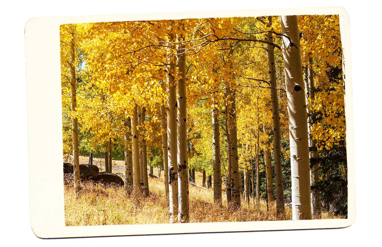 Flagstaff Arizona Aspen Golden Leaves