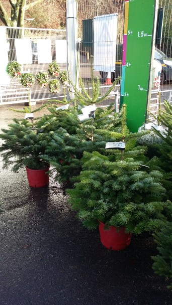 Potted Christmas trees.