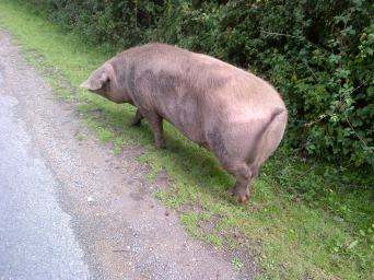 New forest pig.