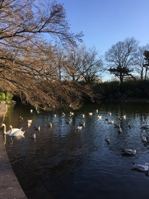 Swans in St. Stephen's Green.