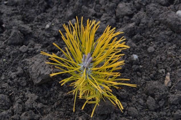 Pinus mugo 'Golden Glow'