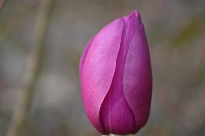 Magnolia 'Black Tulip