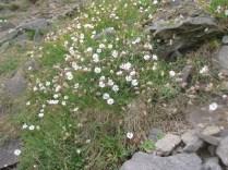 Silene uniflora Sea Campion