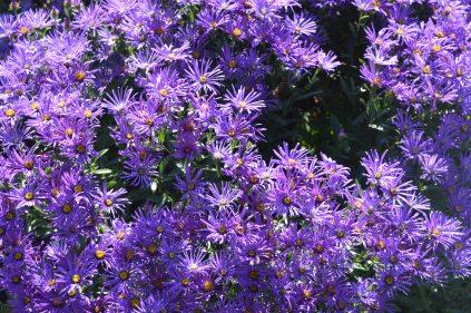 S. amellus 'Violet Queen'