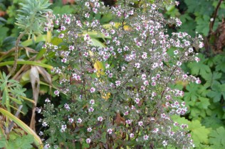 Symphyotrichum laterifolius 'Lady in Black'