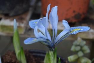 Iris 'Sheila Ann Germaney'