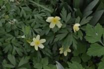 Anemone lipsiensis