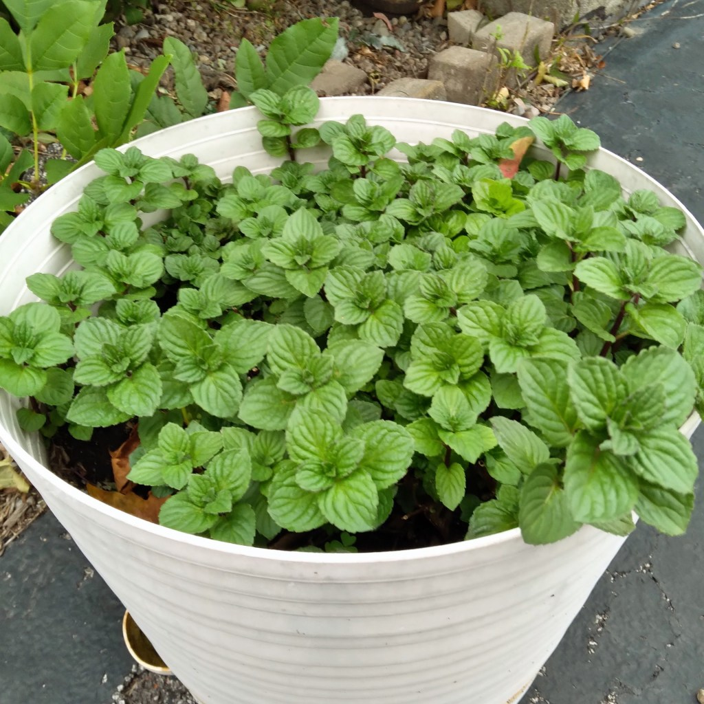 Some peppermint in a pot