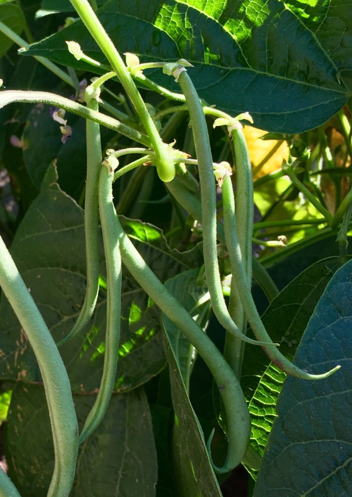bush bean pods on vine