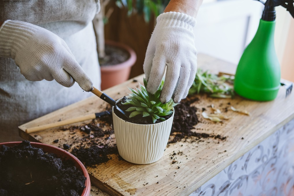 Gloved hands adjusting succulent as it's being repotted