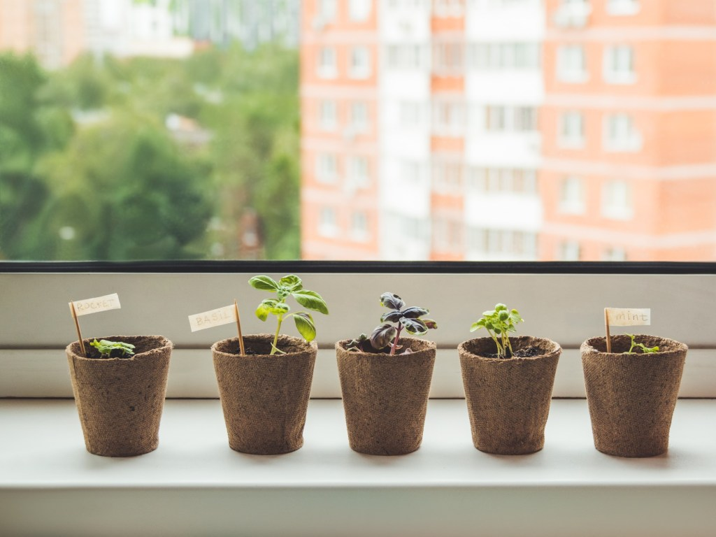 basil seeds in biodegradeable pots on window sill