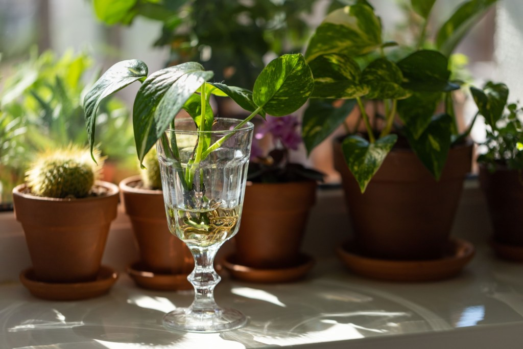 propagating houseplants in wide mouthed glass