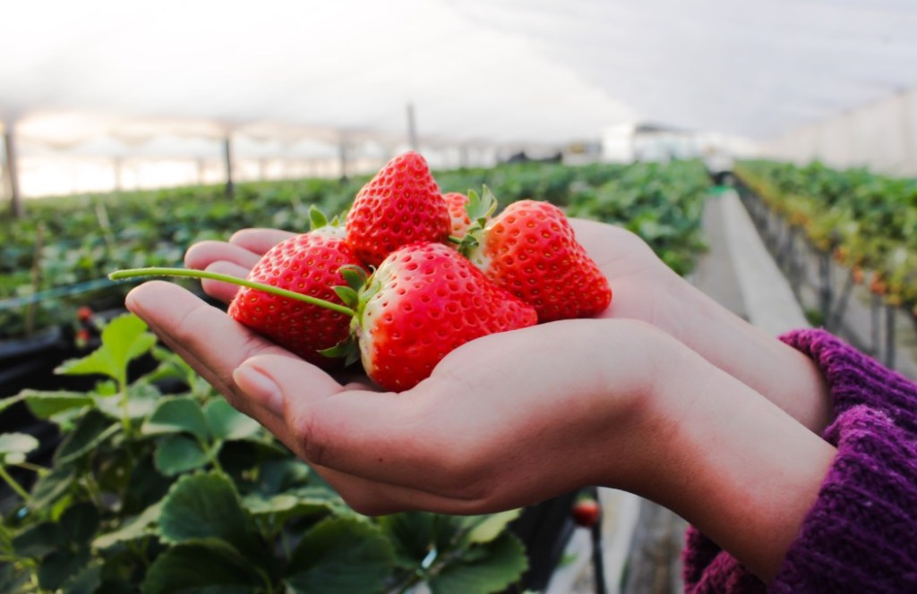 Closeup of hands holding a bunch of strawberries