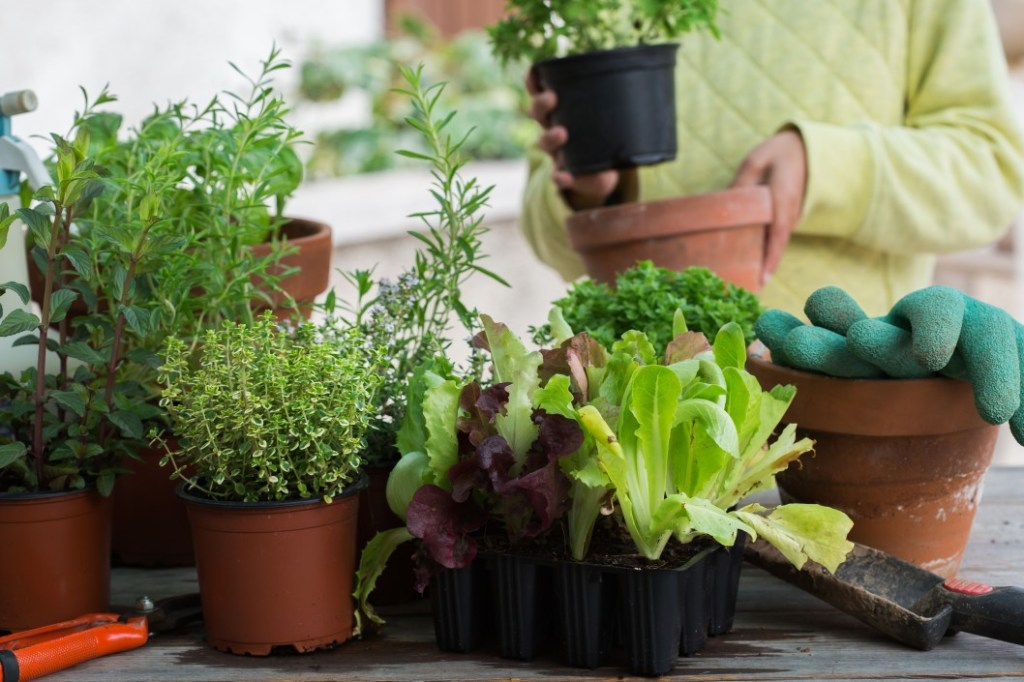 Various plants with lettuce in the foreground with gardening gloves