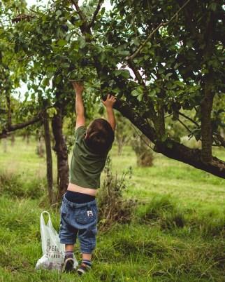 Picking Plums: Plum and Citrus Jam