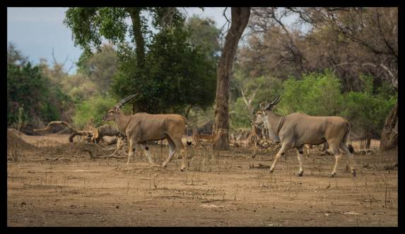 Antelope, Mana Pools