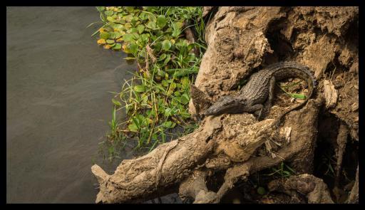 Juvenile croc enjoys a sunbath at the shore of Nyamepi campsite, Mana Pools