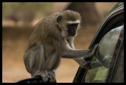 Velvet monkey tries to raid the car, Nyamepi, Mana Pools