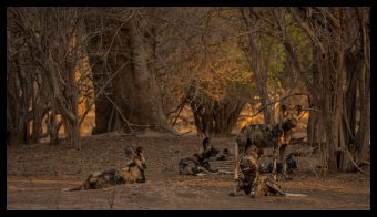 Wild Dogs in Mana Pools National Park