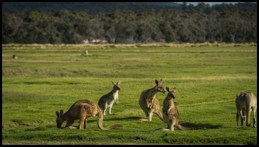 Kangaroos at the Serengeti of Tasmania, Narawntapu National Park