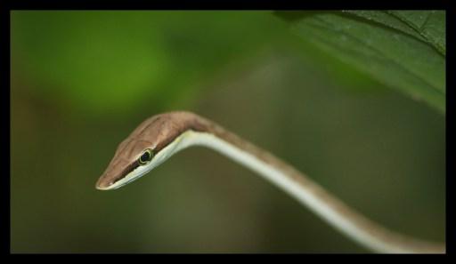 Brown Vine Snake in the Garden of Tucan Lodge