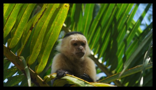 Capuchin monkey just before stealing the lunch at Cahuita Nationalpark