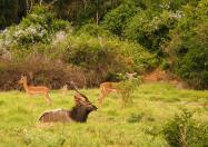 Mr Nyala and the little Impala