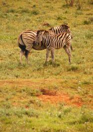 Mummy and Baby Zebra