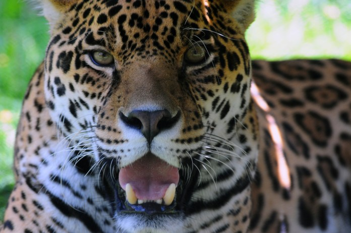 An Animal Under Threat The Mysterious Symbolism Of The Jaguar