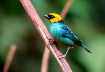 Saffron-crowned tanager ( yellow head and blue body)