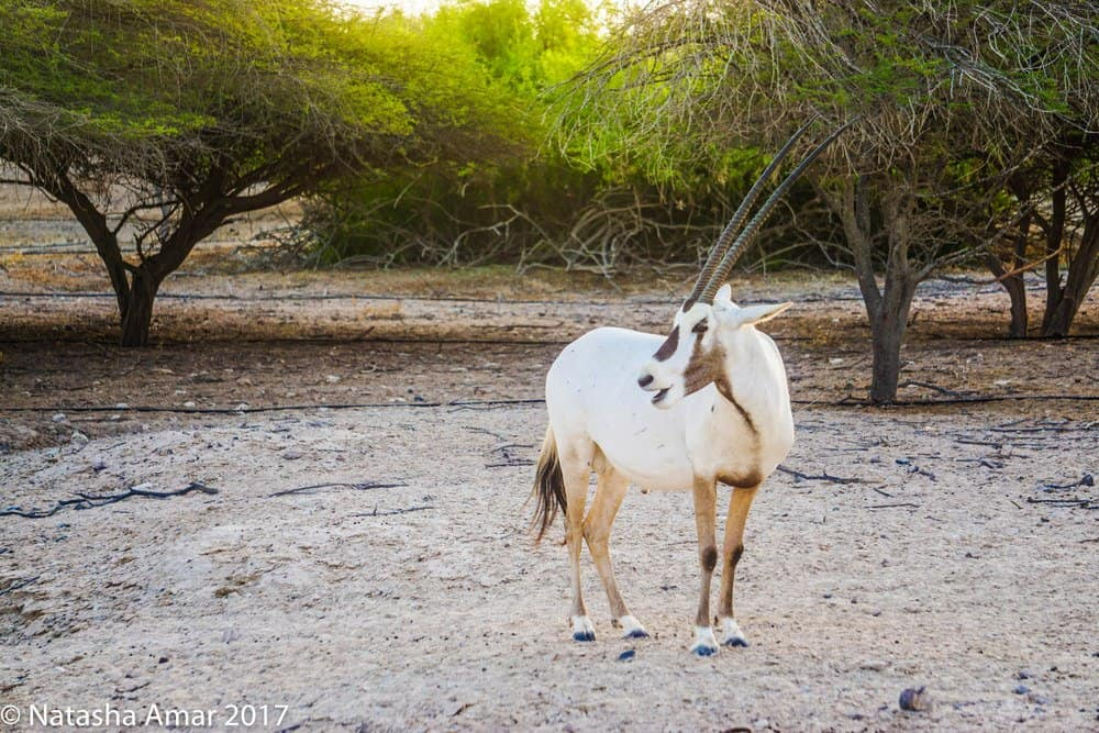 Arabian oryx on Sir Bani Yas Island
