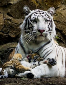 Colombia_white_tiger