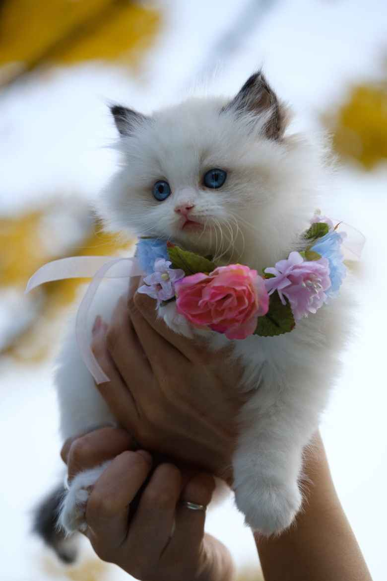 person holding white kitten with flowers necklace