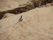 blue lizard of Jordan