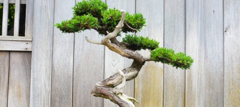 Bonsai Bare Wood Techniques