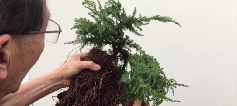 How to Create a Cascading Juniper Bonsai in about 15 minutes
