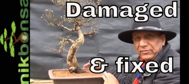 Frost Damaged Chinese Elm Bonsai