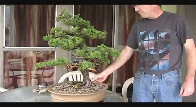 New Pot For Old Juniper Bonsai