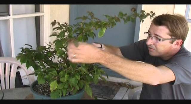 How to Fertilize Bonsai