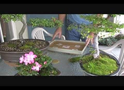 Growing Moss for Bonsai