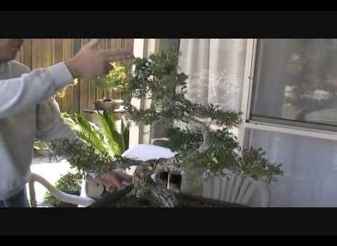 Juniper Foliage Grafting Part 1