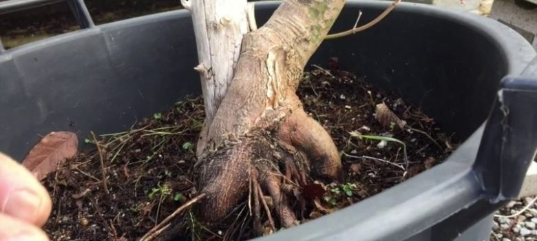 How To Create Large Trunk Maple Bonsai
