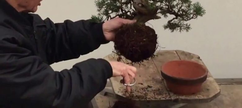 Bonsai Tree Repotting Tutorial by Peter Chan