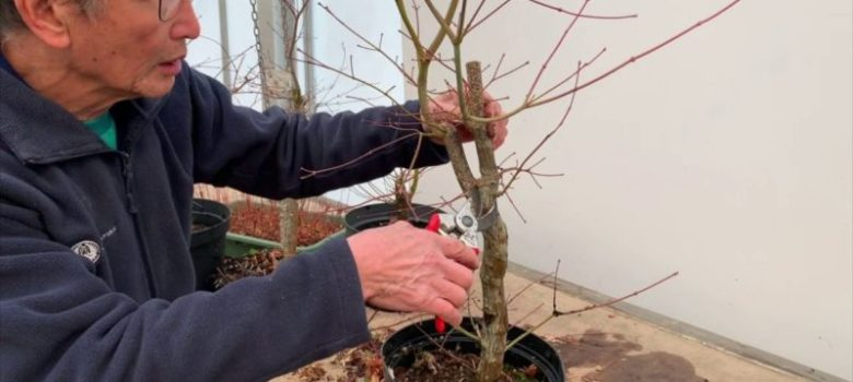 Japanese Maple Shaping Decisions - Part 1