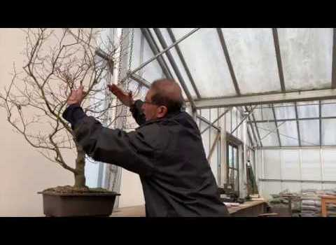 Maple Bonsai Pruning (tree returns to nursery after 20 years)