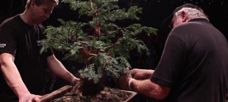 Taxus bonsai demo by Václav Novák