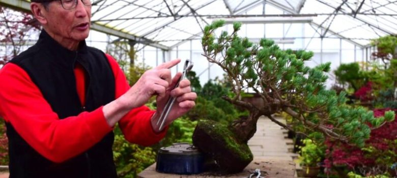 Pine Bonsai Reshape and Prune